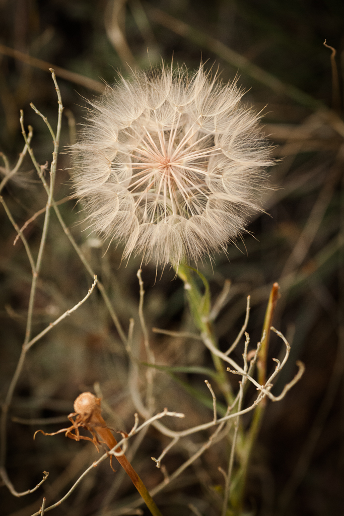 Salsify New Mexico